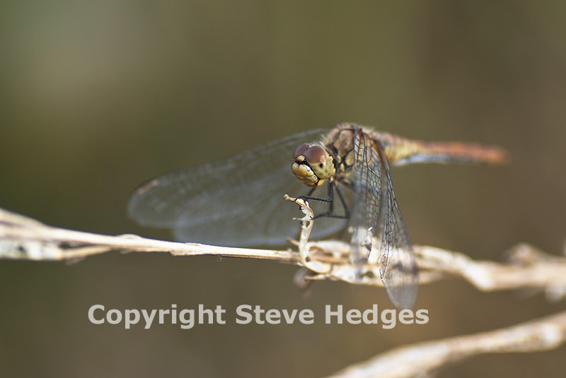 Dragonfly in Essex