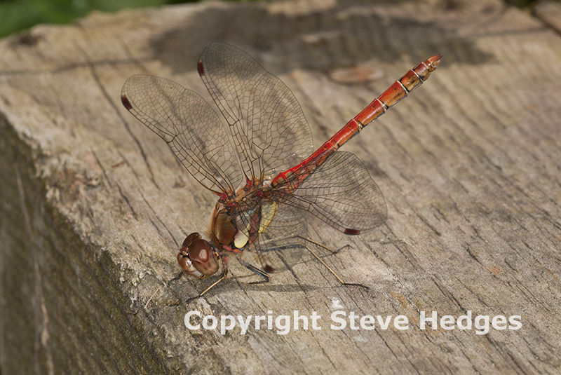 Dragonfly Cornhill