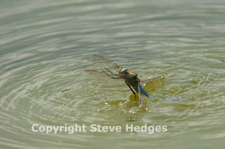Emperor Dragonfly flying from the Water