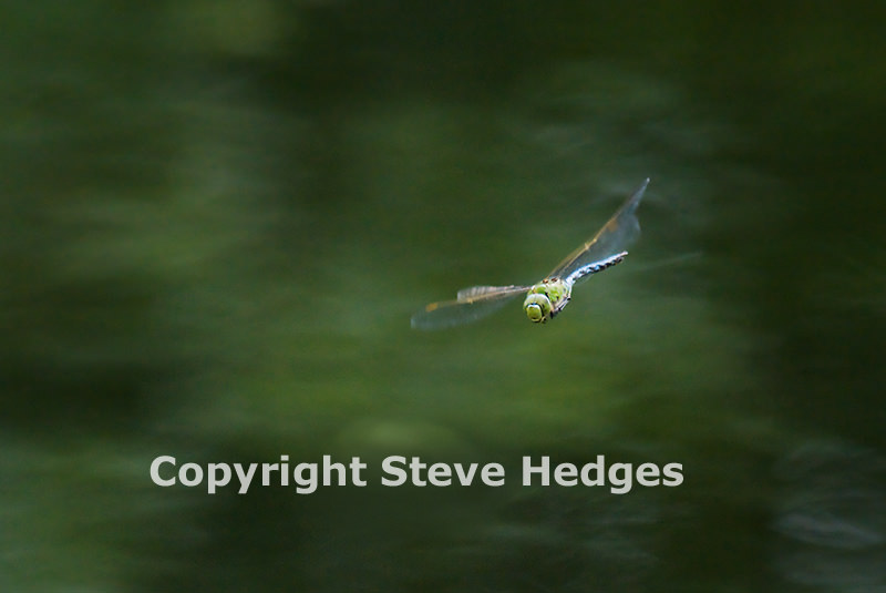 Dragonfly Chelmer by Steve Hedges