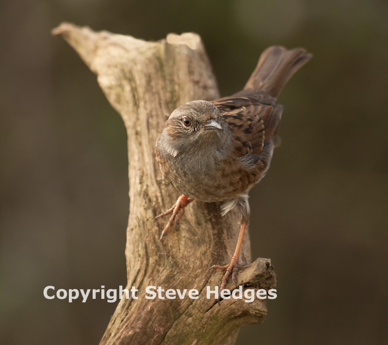 Dunnock in Essex