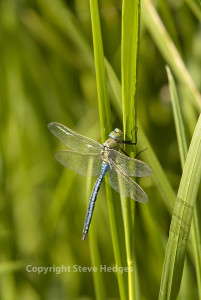 Emperor Dragonfly for focus
