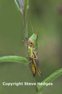 Grass Hopper Photography in Essex