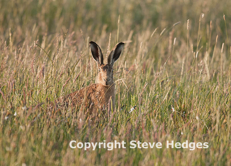 Hare Photography in Essex