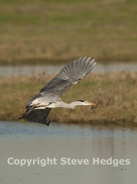 Steve Hedges Heron Photography in Essex