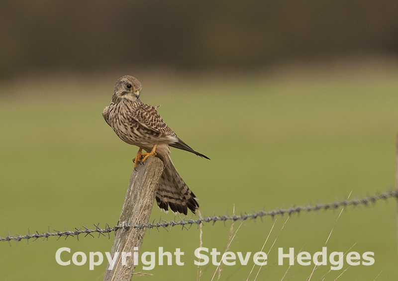 Steve Hedges Kestral Photography in Essex