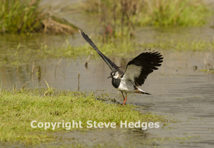 Lapwing Photography in Essex