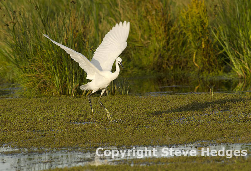 Little Egret Photography by Steve Hedges