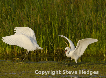 Little Egret in Essex