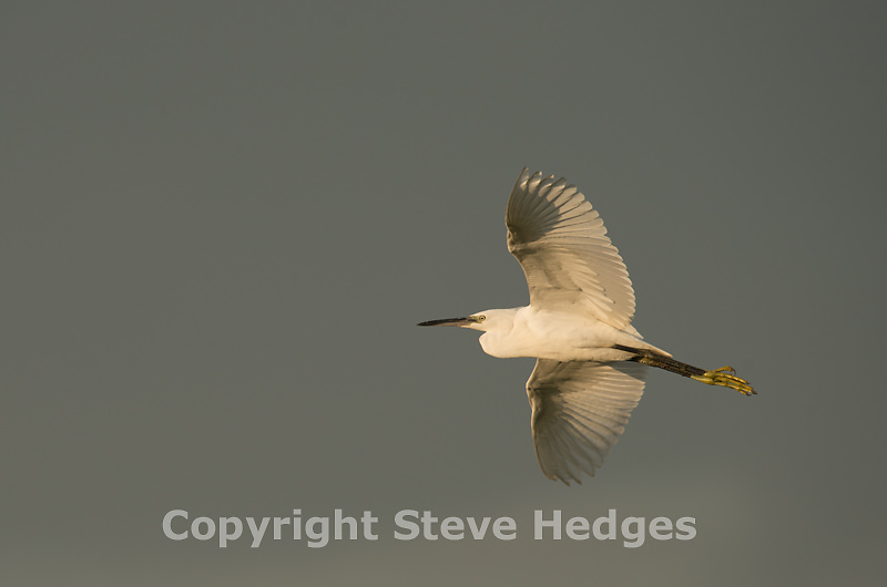 Steve Hedges Little Egret Photography in Essex