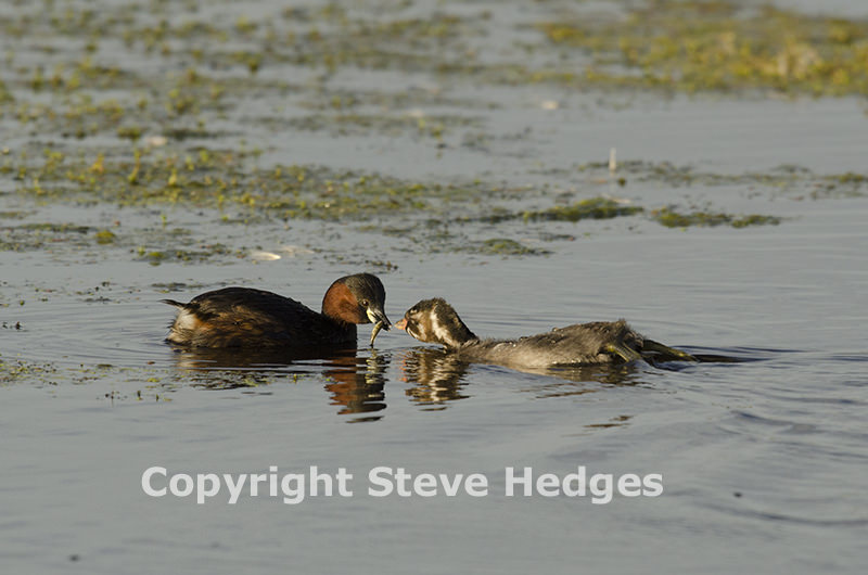Little Grebes in Essex