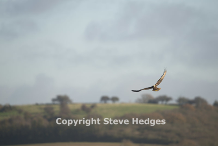 Marsh Harrier in Essex