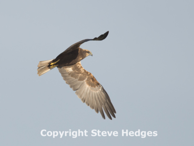 Marsh Harrier in Flight in Essex