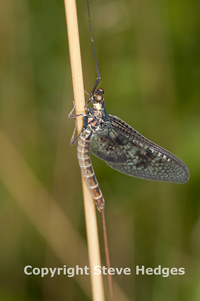 Mayfly photography by Steve Hedges