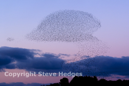 Minsmere Starlings