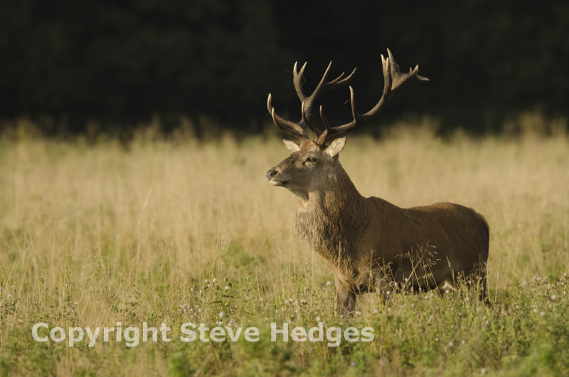 Red Deer in Richmond Park by Steve Hedges