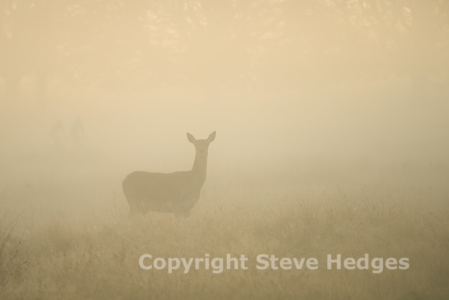 Red Deer Photography in Richmond Park
