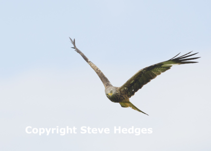 Red Kite in Essex from Steve Hedges