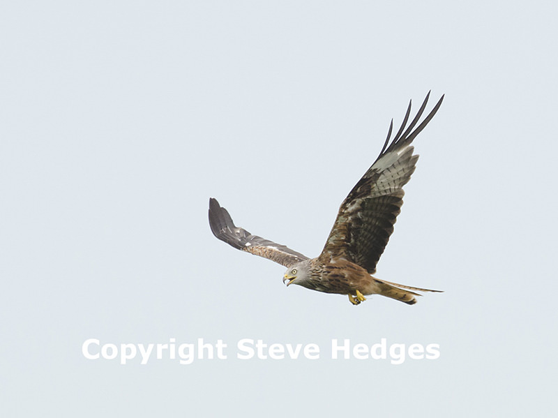 Red Kite Photography in Wales