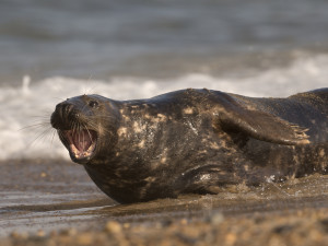 Seal Norfolk