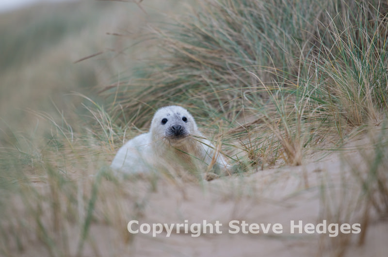 Seal Horsey Gap Norfolk