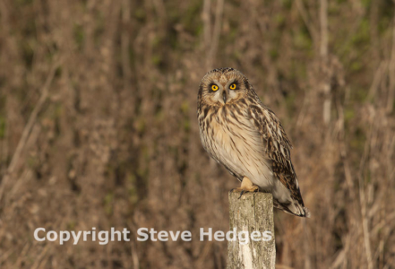 Steve Hedges Owl Photography in Essex