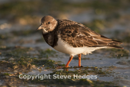Turnstone photography by Steve Hedges