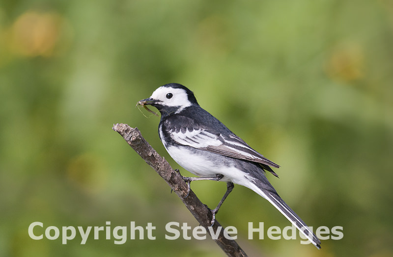 Wagtail photography by Steve Hedges