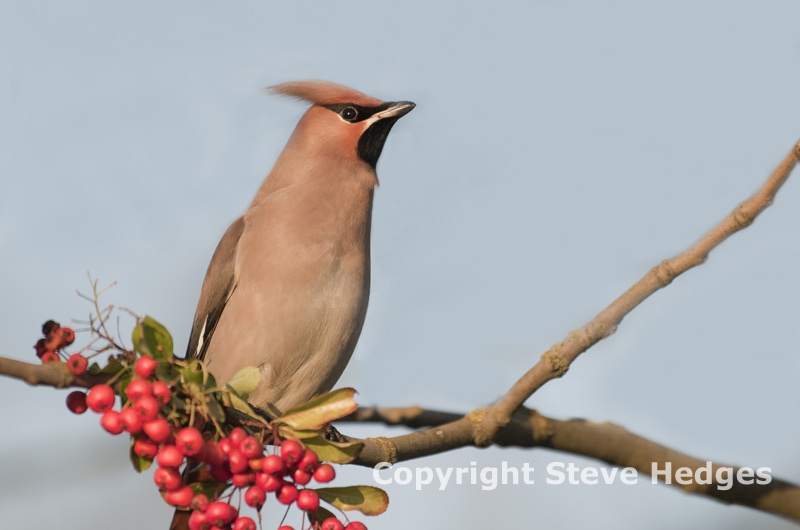 Waxwing photography by Steve Hedges