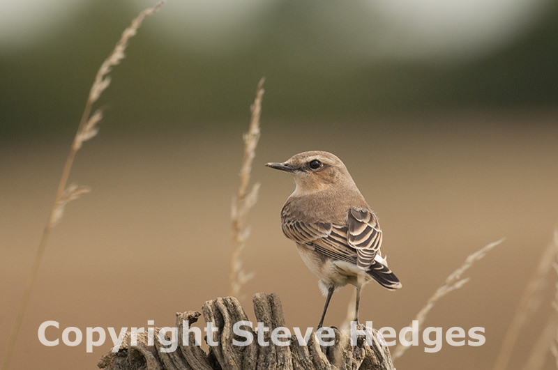 Wheateater photography by Steve Hedges
