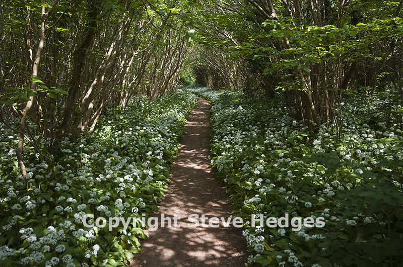 Wild Garlick Photography from Steve Hedges in Dorset