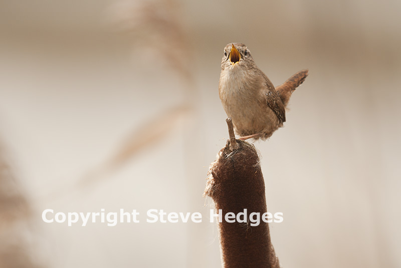 Wren photography by Steve Hedges