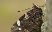 Butterfly photography in Essex