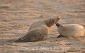 Grey Seals Photography on Norfolk Coast