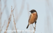 Stonechat 1 male
