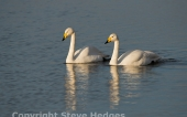 Welney Marshes Swans from Steve Hedges