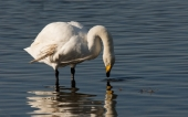 Swans at Welney Marshes